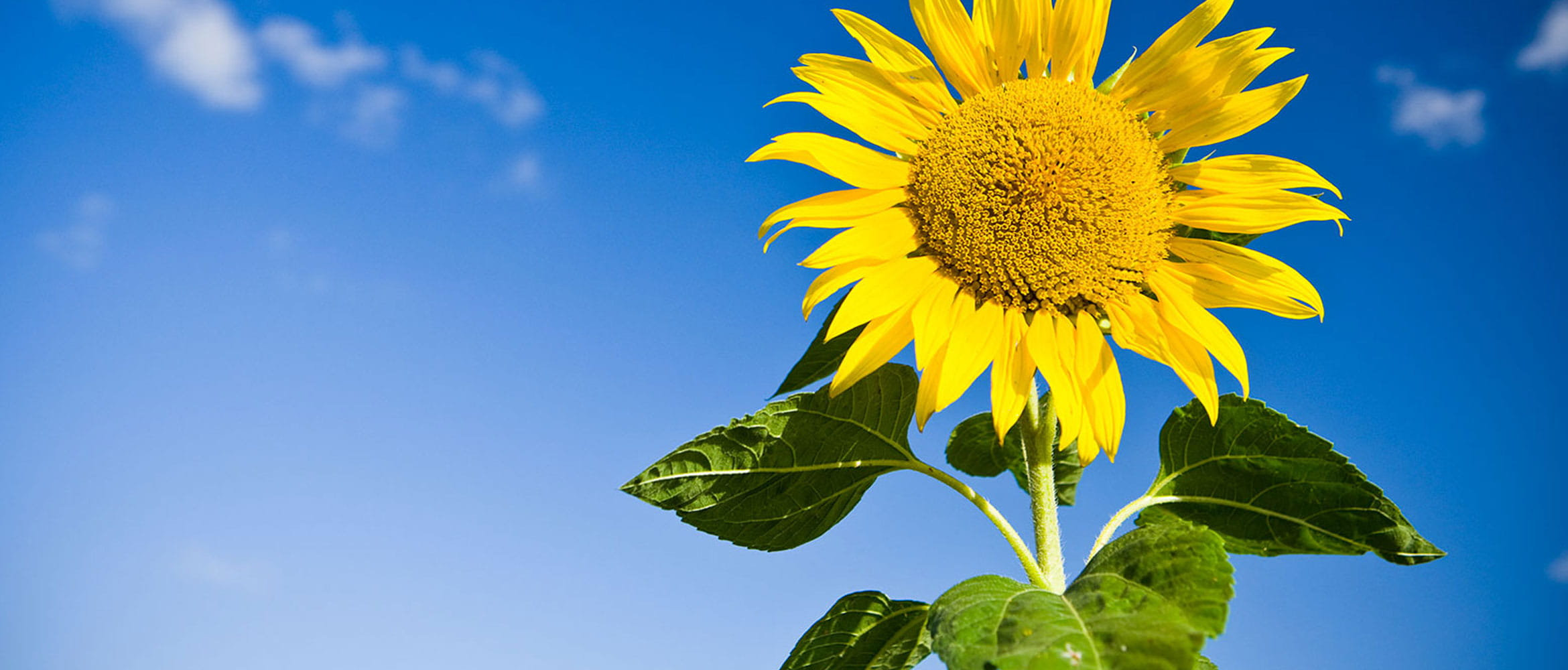 Sunflower picture